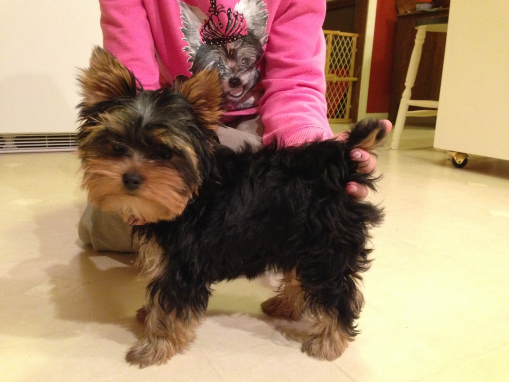 Champ Bred yorkie female