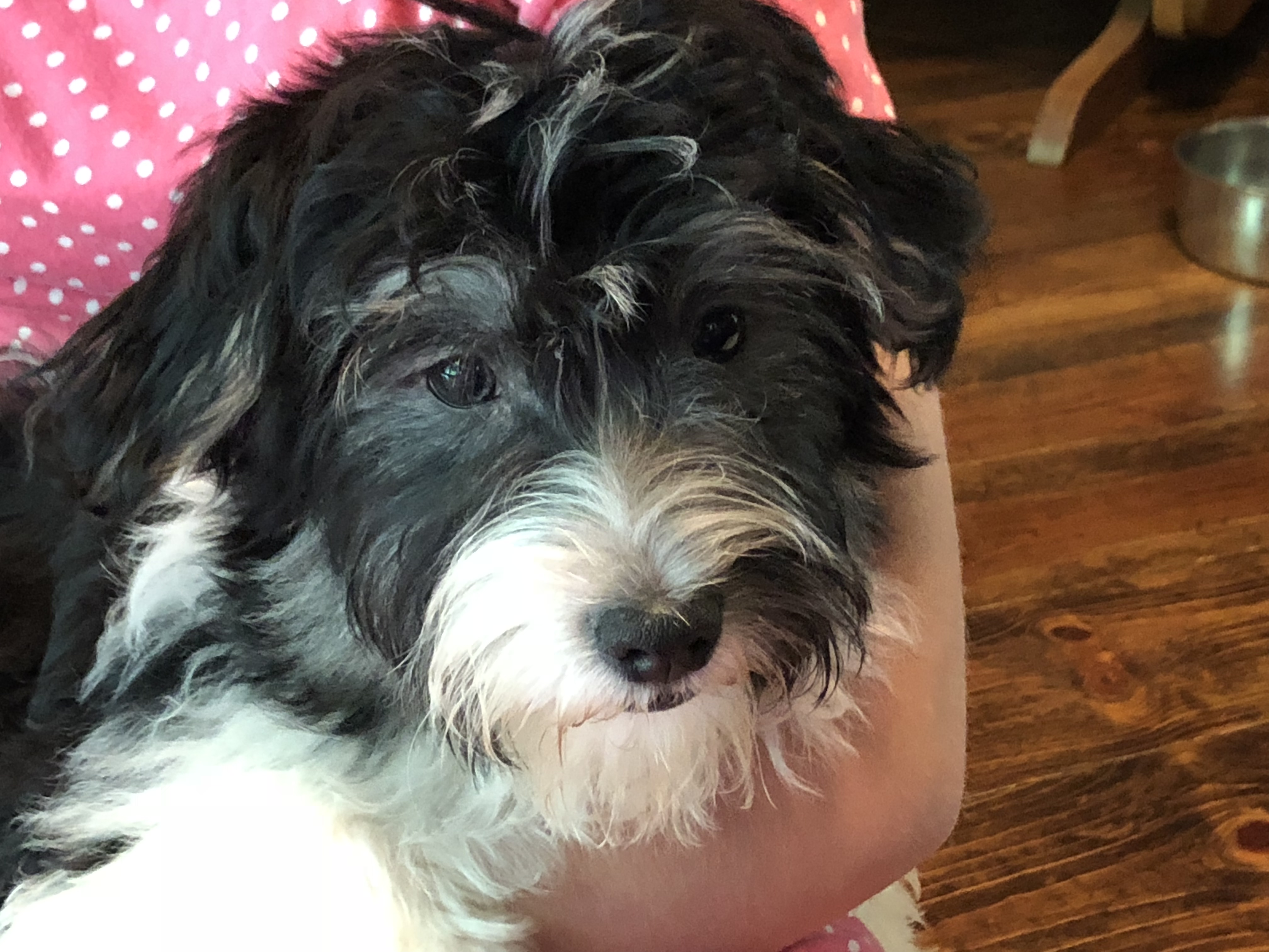 Havanese Puppies Country Hills Kennel