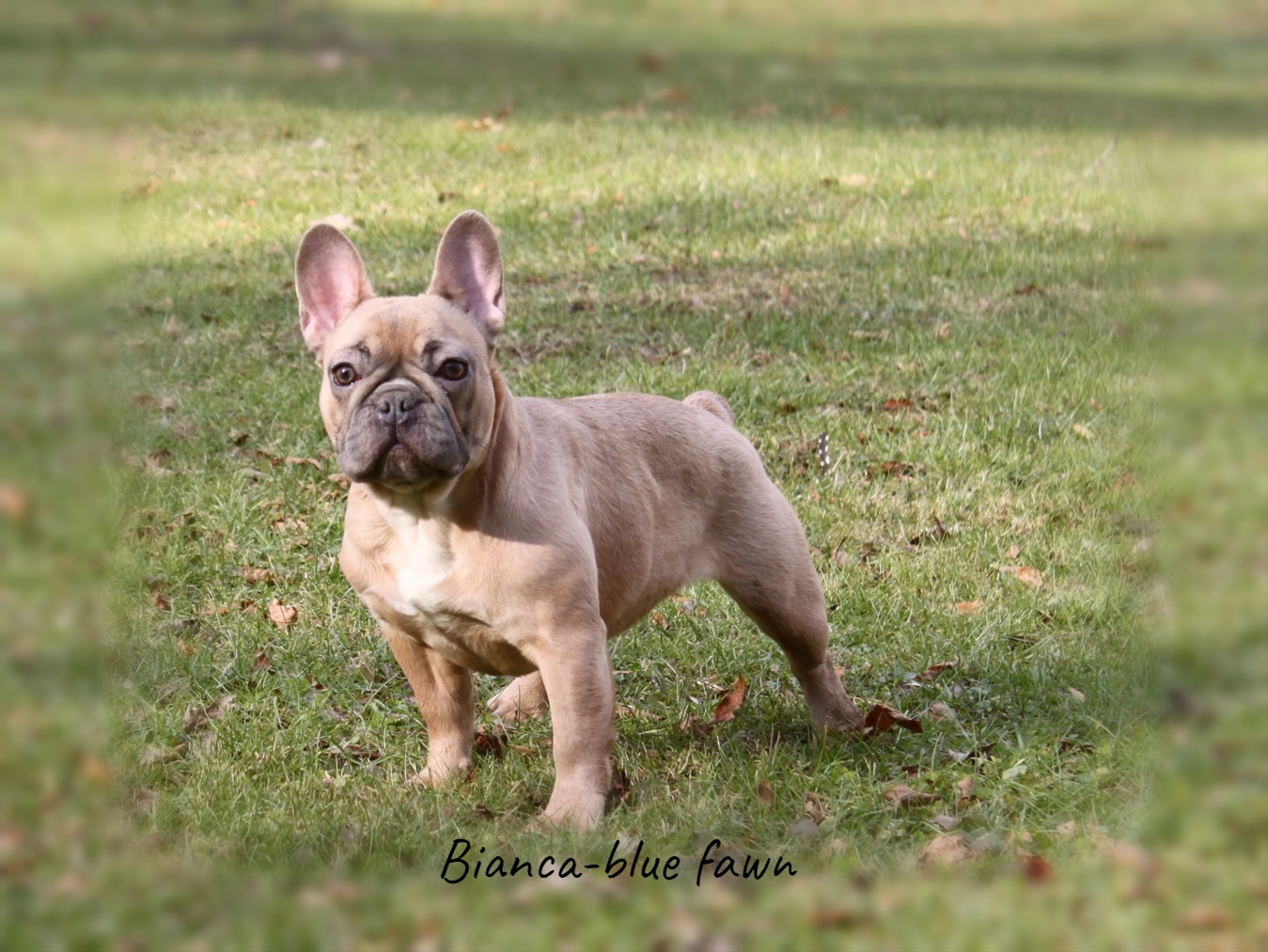 French Bulldogs Country Hills Kennel