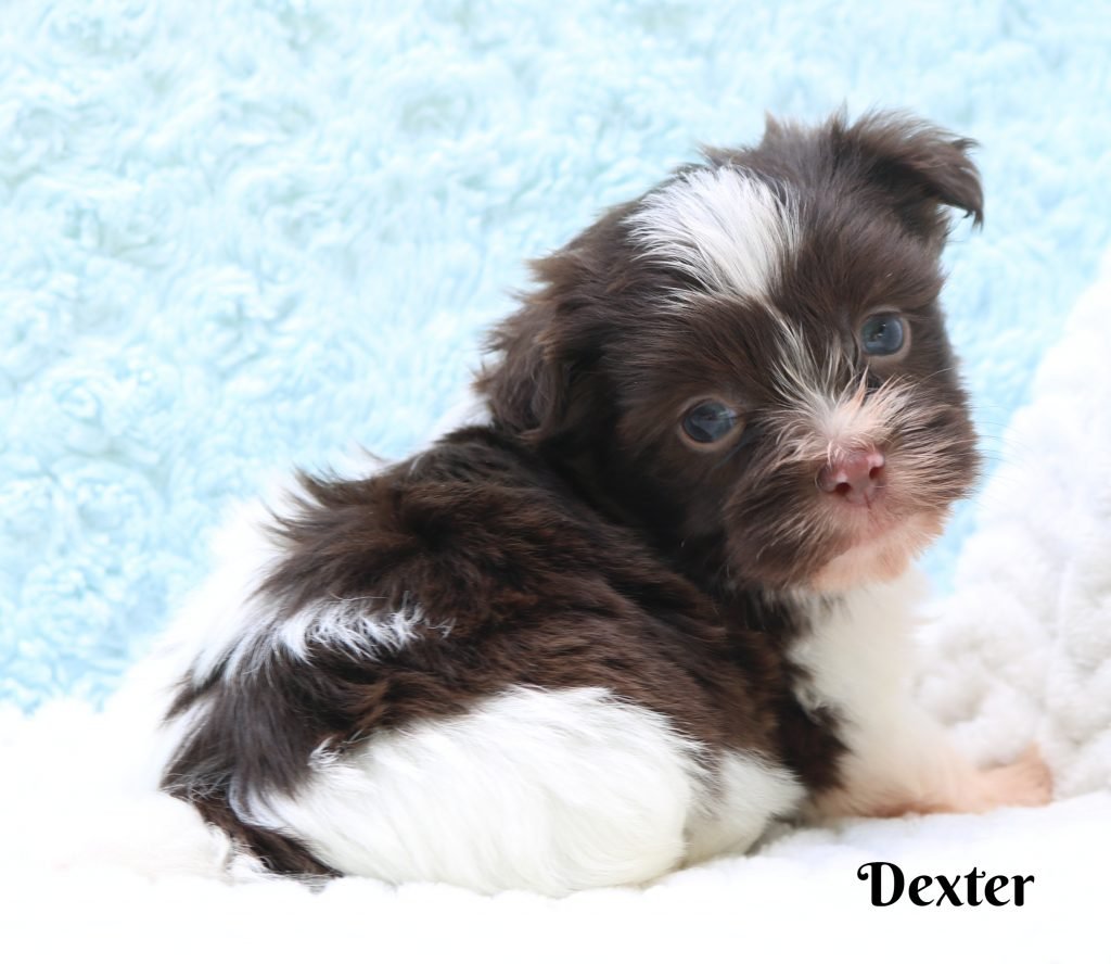 Havanese Puppies - Country Hills Kennel